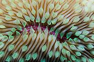 A macro detail shot of an oval mushroom coral (fungia scutaria) from Molokini, Maui, Hawaii.