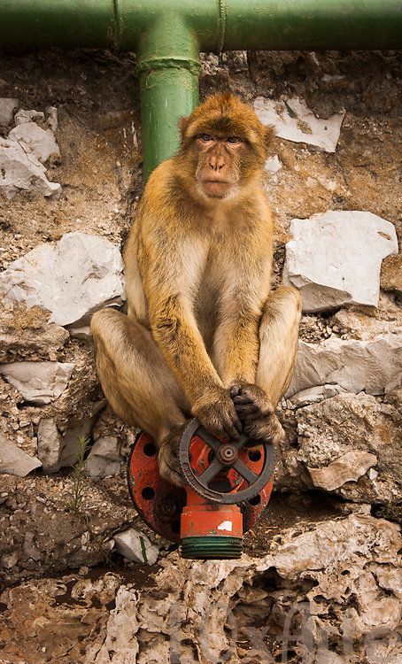 A devious-looking Barbary Macaque (also referred to as Gibraltar Monkey) sitting on top of a pipe outlet, holding the valve. The stones behind him appear like angel wings.  The image is available for commercial licensing through Arcangel Images. ID# AA1644967 . Contact LOxArte for Fine Art Prints.