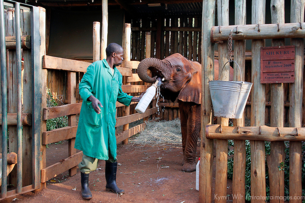 Africa, Kenya, Nairobi. Bottle feeding orphaned baby elephant at David Sheldrick's Wildlife Trust.