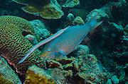 Queen Parrotfish (Scarus vetula) &amp; Trumpetfish (Aulostomus maculatus)<br /> BONAIRE, Netherlands Antilles, Caribbean<br /> HABITAT &amp; DISTRIBUTION: Reefs<br /> Florida, Bahamas, Caribbean &amp; Bermuda