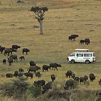 Acacia trees in the Masai Maras plains. Kenya. Africa, Tourist exploring Masai Mara National Park in Kenya on an open jeep