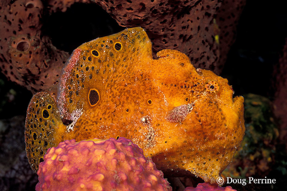 longlure frogfish or anglerfish, Antennarius multiocellatus, on sponge, The Garden, St. Vincent or Saint Vincent, West Indies ( Eastern Caribbean Sea )