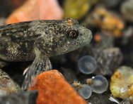 Slimy Sculpin (with Lake Whitefish eggs)<br />