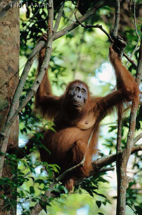 A pregnant Bornean Orangutan (Pongo pygmaeus) hangs in a tree in Borneo.