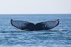 Whale Tails - Kimberley - 2013