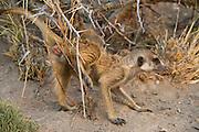 Meerkat or Suricate (Suricata suricatta) Scent Marking<br /> Makgadikgadi Pans, Kalahari Desert<br /> Northeast BOTSWANA<br /> HABITAT &amp; RANGE: Kalahari Desert in Botswana, Namib Desert of Namibia, Angola and South Africa