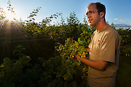 USA, Oregon, Corvallis, Oregon State University horticulture PhD student shows us golden raspberries, MR