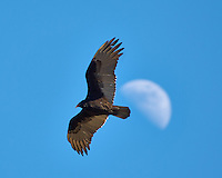 Turkey Vulture soaring past the first quarter moon. Backyard winter nature in New Jersey. Image taken with a Nikon D2xs camera and 80-400 mm VR lens (ISO 100, 400 mm, f/5.6, 1/200 sec).