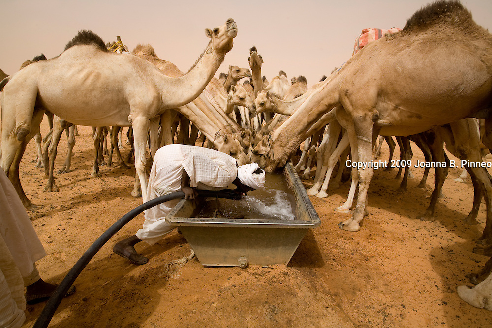 Camels drink at a water trough at Abu Gadam in the Saharan Desert, Sudan. Think 25 gallons of water in 10 minutes.