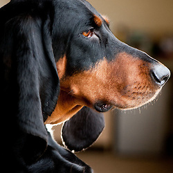 Black & Tan Coonhound - owner Pamala Muller