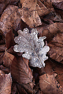 An intimate view of the forest floor in the early morning light. I was amazed at seeing how that oak leaf surface was so water repellent, if compared with the chestnut leaves that were instead completely soaked with dew.