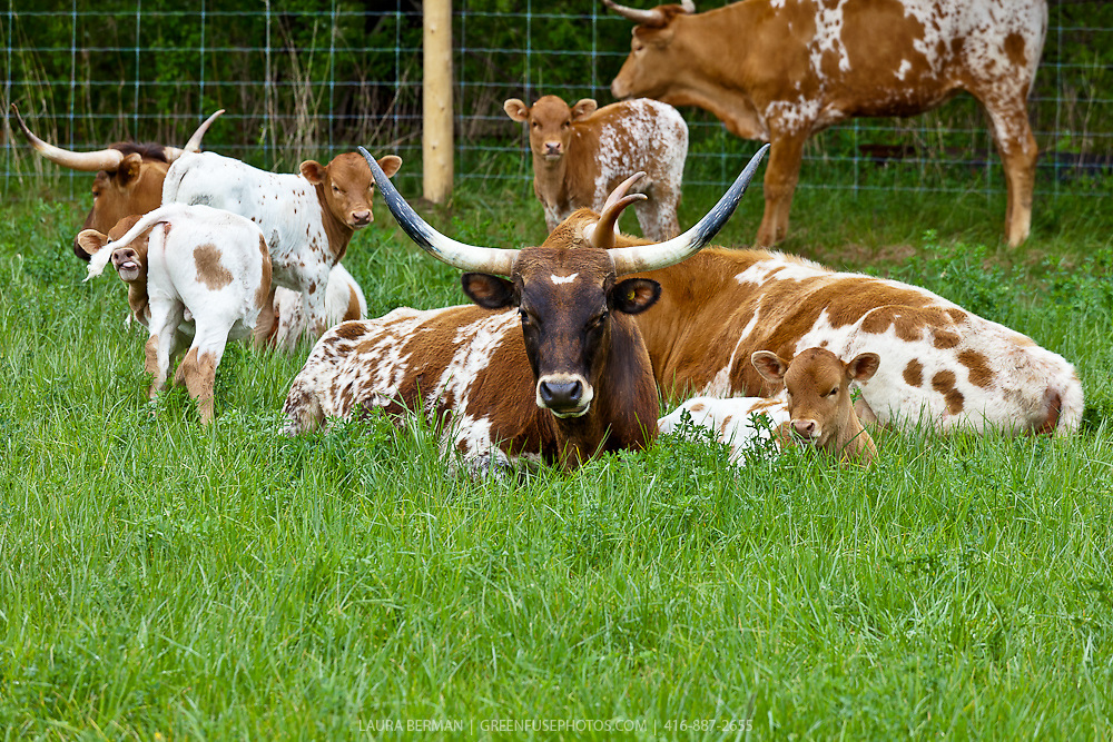 Texas Longhorn cattle and their nursing calves in long green grass.