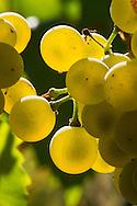 Chardonnay cluster, Dubral, Rattlesnake Hill AVA, central Washington