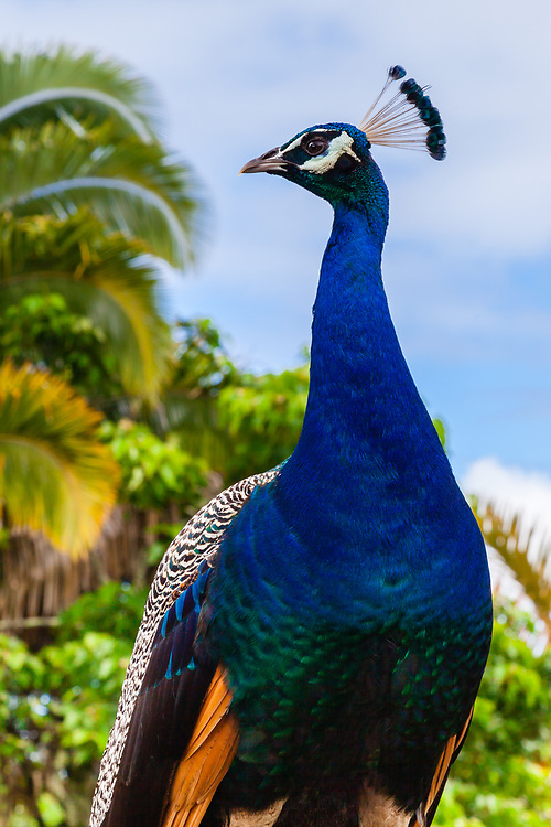 The Indian Peafowl (Pavo cristatus) seems to be everywhere, but they are always captivating. This handsome fellow was prancing around the Panaewa Rainforest Zoo Big Island, Hawai'i.