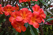 Red orange flowers in garden at the attractive Volcano Inn, on the Big Island, Hawaii, USA. Address: 19-3820 Old Volcano Rd, Volcano, HI 96785