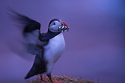 An Atlantic puffin going in with its last feed of the day at Hermaness National Nature Reserve in the Shetlands