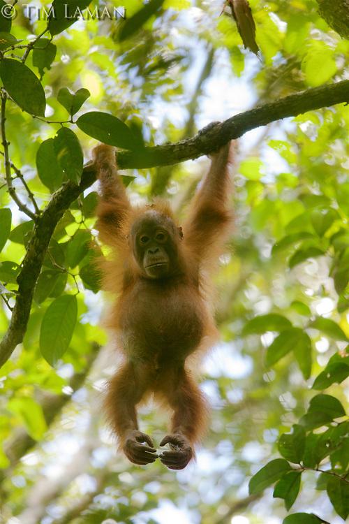 Bornean Orangutan <br />Wurmbii Sub-species<br />(Pongo pygmaeus wurmbii)<br /><br />juvenile male Benny (age approx 5) son of Beth<br /><br />Gunung Palung Orangutan Project<br />Cabang Panti Research Station<br />Gunung Palung National Park<br />West Kalimantan Province<br />Island of Borneo<br />Indonesia
