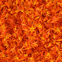 Blossoms of Orange Montbretia, Irish Wildflower  County Kerry Ireland / fa018