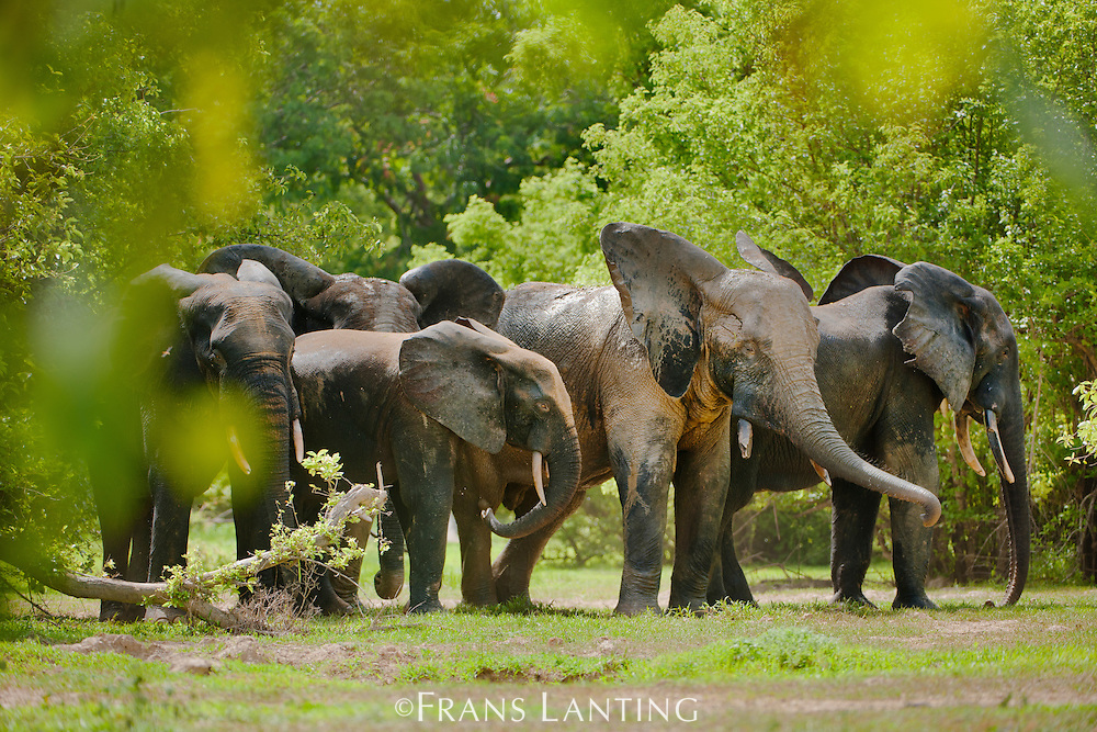 Elephant herd, Loxodonta africana, Mole National Park, Ghana