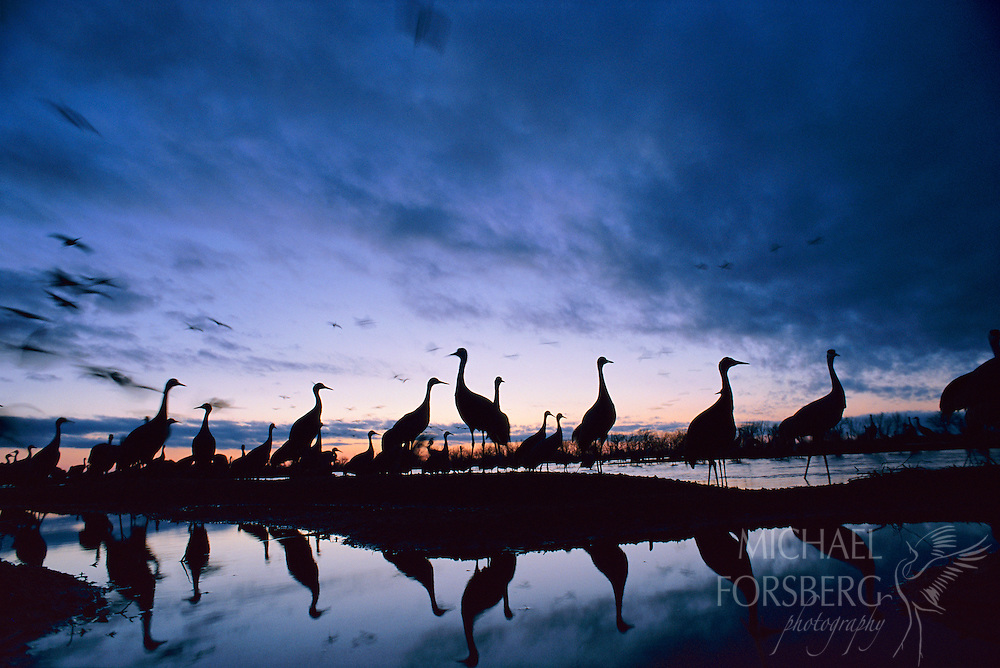 Sandhill Cranes - Platte River Valley, Nebraska. Just after sundown, migrating sandhill cranes stand in silhouette on their river roost on a sandbar in the middle of the Platte River. Cranes migrate through the Platte River valley from late February to early April and will roost together on shallow submerged sandbars each night by the thousands, selecting roosts in broad wide open channels in the middle of the river where they are free from predators. From a distance, these masses of birds look like they are standing shoulder to shoulder. Up close, however, they actually have very well defined personal spaces about four feet by four.