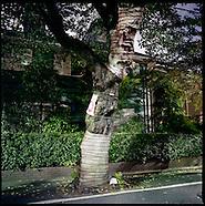 Wounded Sakura (Cherry Trees): Japan Arboreal Mummies