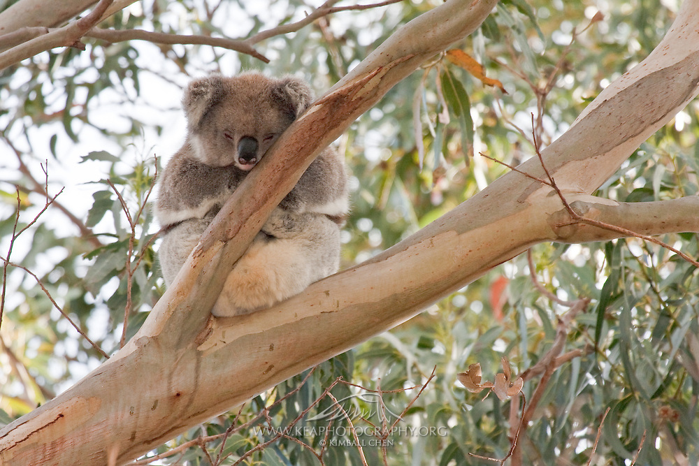 Koala, Kangaroo Island, AustraliaThe koala is most active at sunset, and spends at least 18 hours a day sleeping in trees.