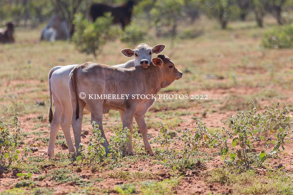 Two Brahman calves on Anna Plains Station, near Mandora, south of Broome