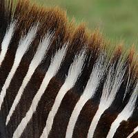 Common zebra ( Equus quagga )  Kenya. Africa