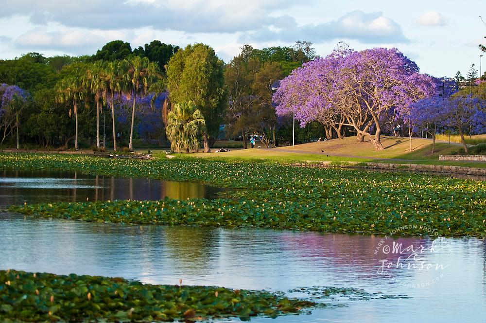 Flowering Jacaranda Trees on the University of Queensland campus ...