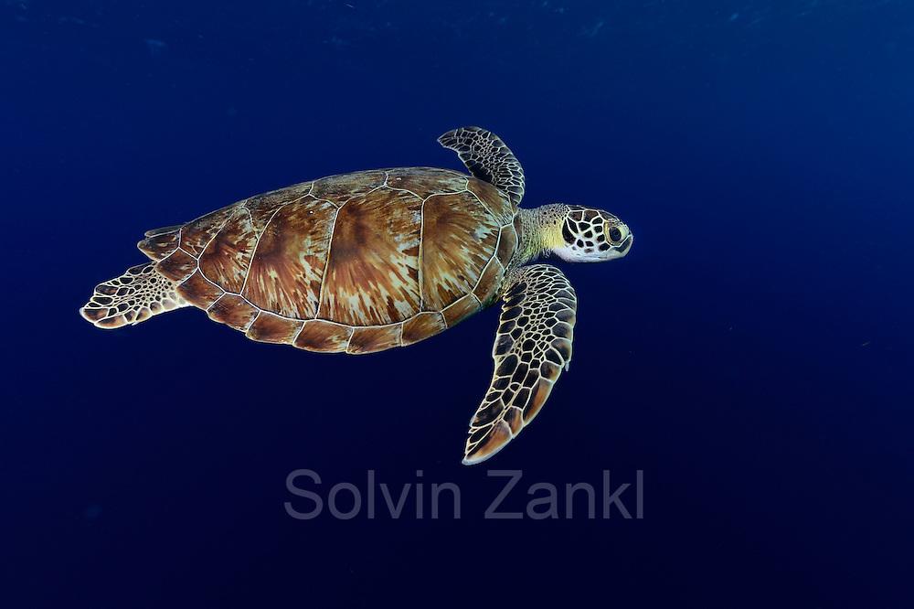 Green sea turtle (Chelonia mydas) Atlantic, Bonaire, Leeward Antilles, Caribbean region, Netherlands Antilles   Grüne Meeresschildkröte (Chelonia mydas) im Freiwasser auf ihrem Weg zum nächsten Atemzug. Etwa alle 45 Minuten müssen Meeresschildkröten wieder an die Oberfläche, um dort vor dem erneuten Abtauchen mehrere Atemzüge zu nehmen.