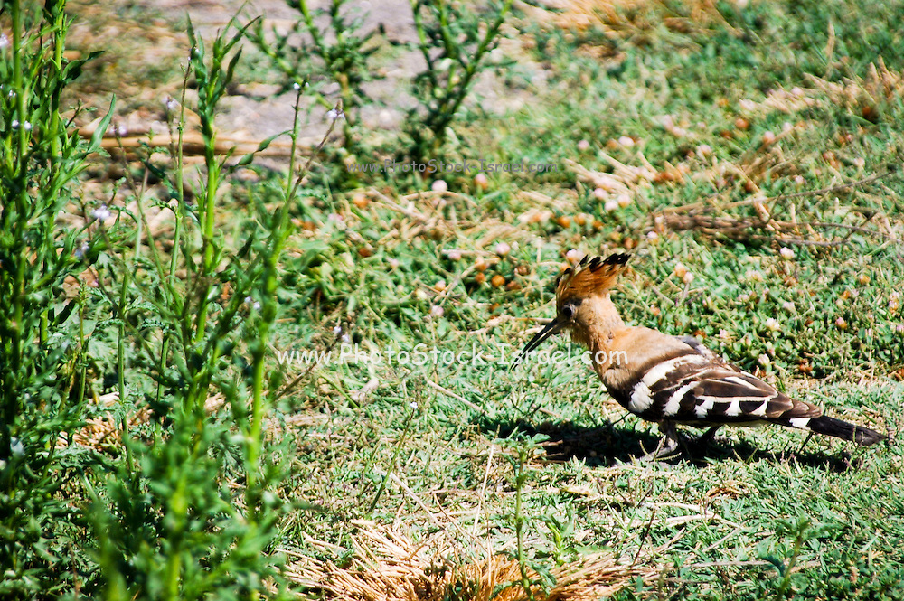 Hoopoe, Upupa epops browsing for food in a garden Israel, Summer June