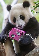 Panda Cub, Xiao Liwu, Turns One Year Old