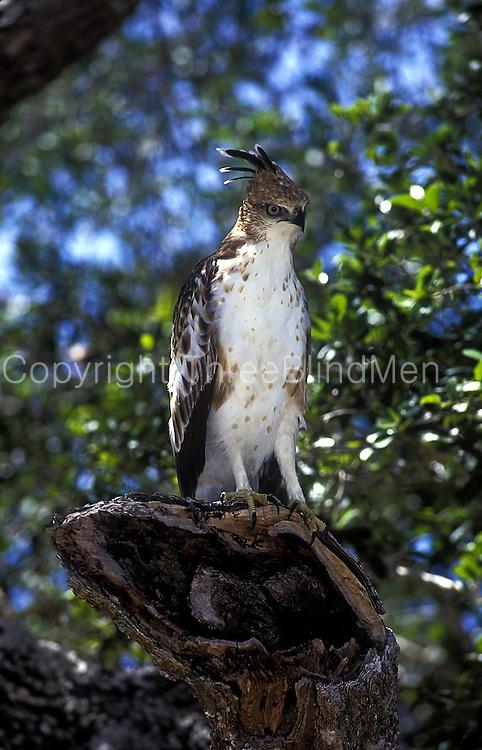 Young adult Changeable Hawk Eagle. Yala National Park. Sri Lanka