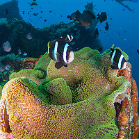 Clownfish swimming in over anemone, USAT Liberty shipwreck, Bali, Indonesia.