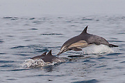Common dolphin leaps out of water, Palos Verdes, CA