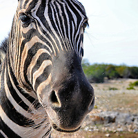 Damaraland Zebra Close Up at Natural Bridge Wildlife Ranch near San Antonio, Texas<br /> This is a 600 pound Damaraland Zebra in the Kenyan Preserve section of the Natural Bridge Wildlife Ranch near San Antonio, Texas. He loves getting up close and personal. In fact, immediately after this photo, he stuck his head into my car window, tried giving me a kiss and proceeded to slobber on the steering wheel. There is nothing like zebra drool all over your dashboard, car seat and pant leg.