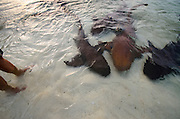 Nurse Shark (Ginglymostoma cirratum)<br /> Marine Megafauna Research. Large marine fish, sharks, rays &amp; turtles.<br /> MAR Alliance<br /> Halfmoon Caye<br /> Lighthouse Reef Atoll<br /> Belize<br /> Central America