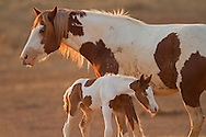 Tuff, a member of the stallion Derby's band, is a chestnut overo mare that resides in the Whistle Creek area of the McCullough Peaks HMA. Late in August, Tuff gave birth to this adorable little filly who is the spitting image of her mother.