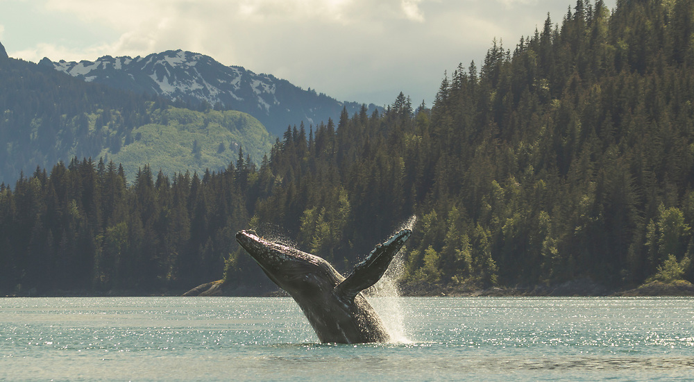 A humpback whale (Megaptera novaeangliae) breaches into sunlit water in Glacier Bay.