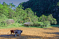 Oxen on a farm in the San Carlos area, Pinar de Rio, Cuba.
