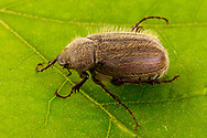 May Beetle (Phyllophaga sp.)<br /> TEXAS: Sabine Co.<br /> Brookeland near Lake Sam Rayburne<br /> 7-April-2016<br /> J.C. Abbott &amp; K.K. Abbott #2791