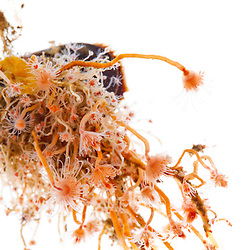 Pink hearted hydroid Tubularia crocea growing on a blue mussel. Found in the Atlantic Ocean in Rye, New Hampshire.q