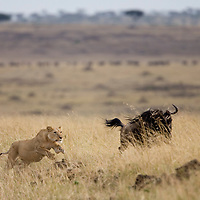 Africa, Kenya, Masai Mara Game Reserve, Lioness (Panthera leo) chases after Wildebeest (Connochaetes taurinus) while hunting on savanna