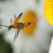 A longhorn beetle flower (Leptura obliterata) pollinating a garden daisy flower in western Oregon. © Michael Durham / www.DurmPhoto.com