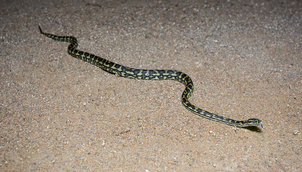 Jungle Carpet Python (Morelia spilota cheynei), photographed on a road at night in the Atherton Tablelands, Queensland, Australia