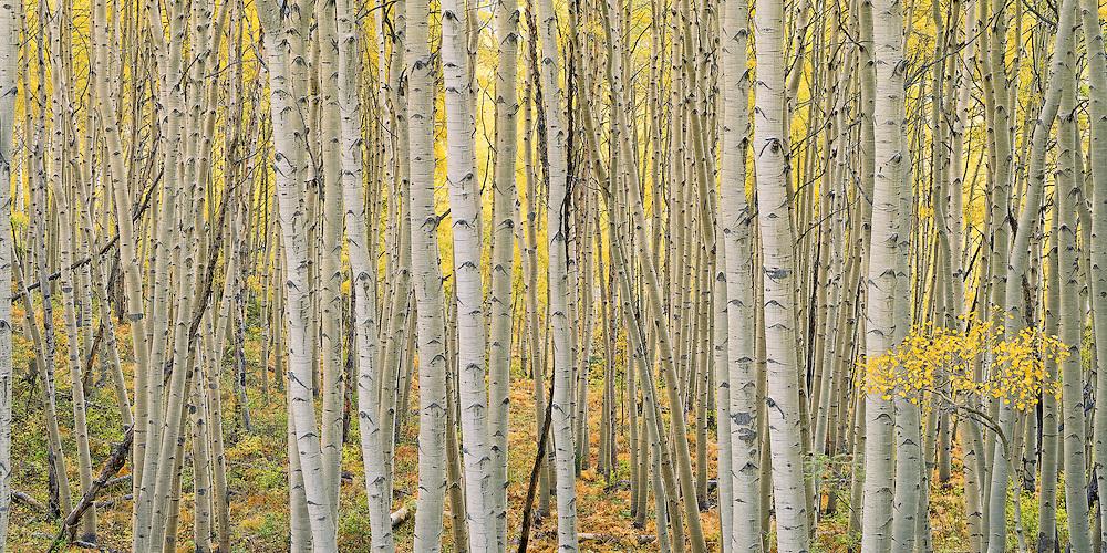 Aspen trees, Kebler Pass, Gunnison NF, Colorado.