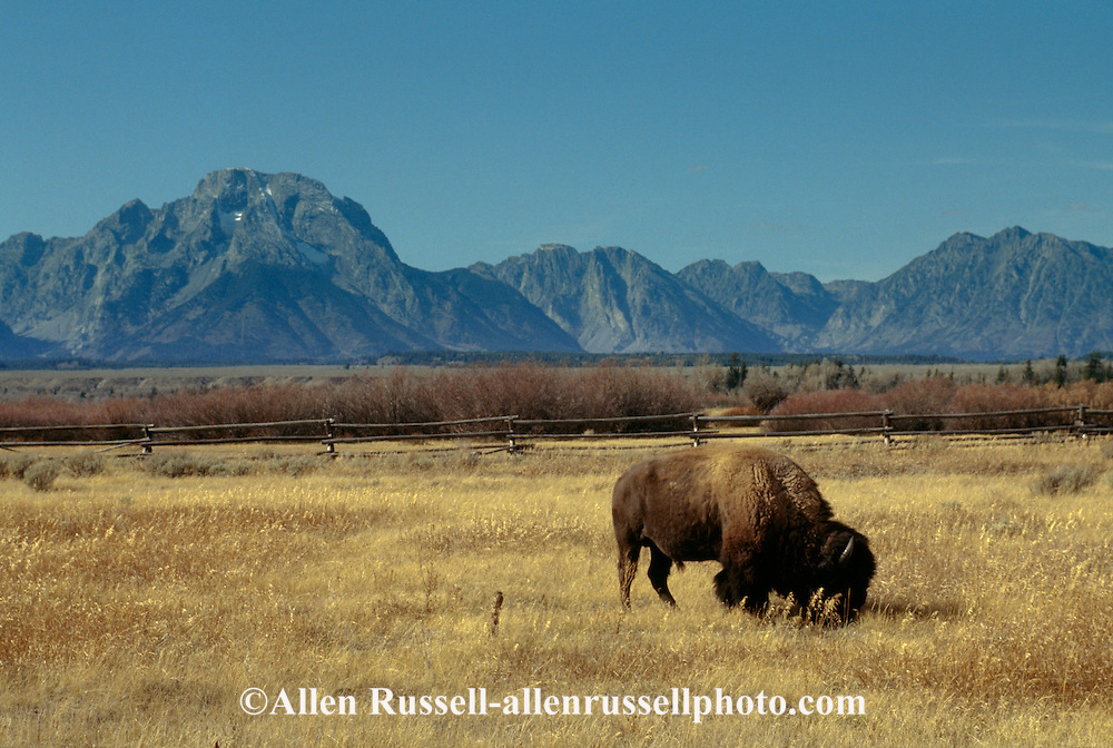 American Bison in Grand Teton National Park, Wyoming | Allen ...