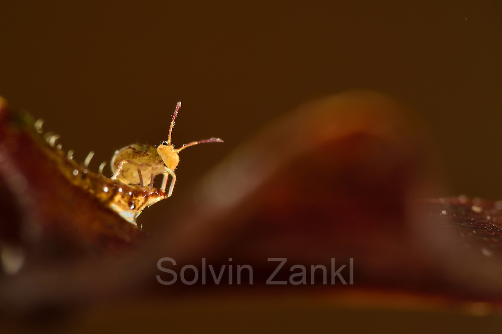 Springtail (Dicyrtomina ornata) Collembola are very importent for the ecosystems in the forest soil. This on is 1 mm in sice and is checking out were the best leas to eat is.  The Biosphere Reserve 'Niedersächsische Elbtalaue' (Lower Saxonian Elbe Valley), Germany | Bunter Kugelspringer (Dicyrtomina ornata) auf Eichenblatt