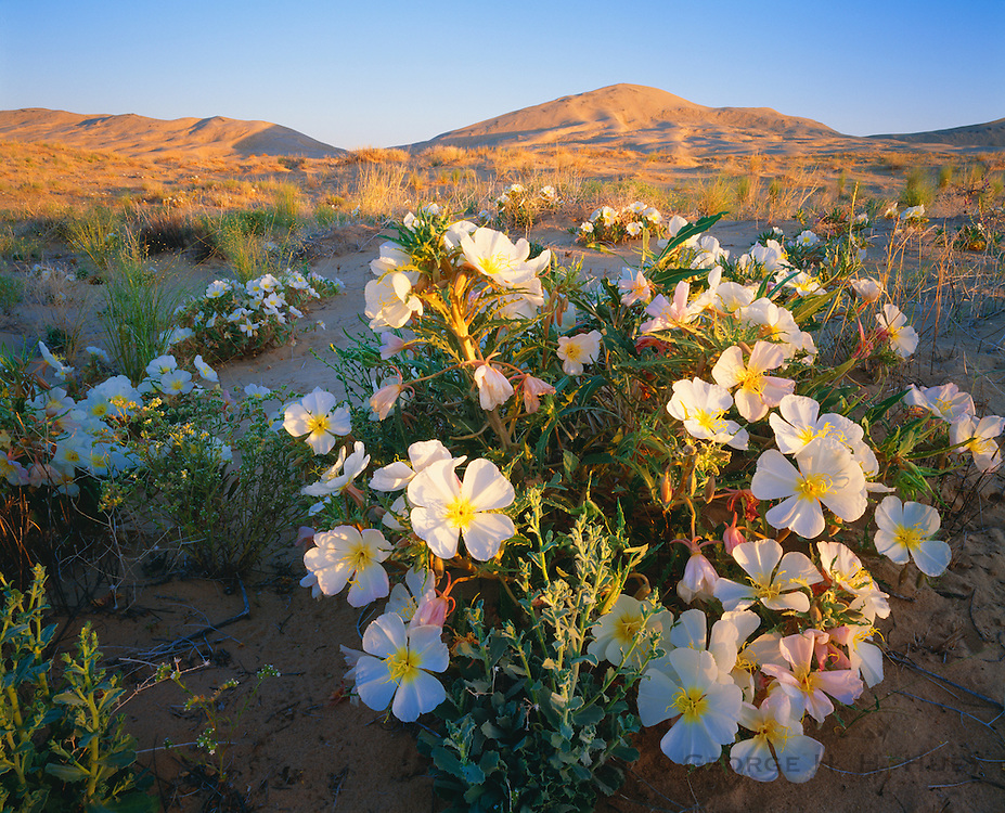 0605-1000C ~ Copyright: George H. H. Huey ~ The Kelso dunes [45 square miles, and 700 feet high], with dune evening primrose, at sunrise. Mojave National Preserve, California.