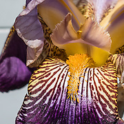 Closeup of the throat of a purple iris flower. Admiralty Head Lighthouse, Fort Casey State Park, Ebey's Landing National Historical Reserve, on Whidbey Island, Washington, USA.